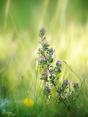 catching light (Wilma van Oorschot) Tags: pink flowers light outdoor 75mm angelphotography olympusem5 olympusmzuiko75mmf18 wilmavanoorschot olumpusomdem5