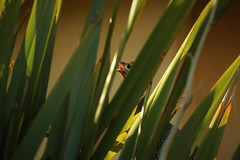 Giunea Fowl Behind Plants (dutoitfj95) Tags: guineafowl hidden plants bird nature