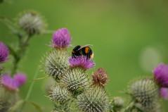 DSC_0048 (taxineil) Tags: naturereserve lunt sefton flowers bees butterflies
