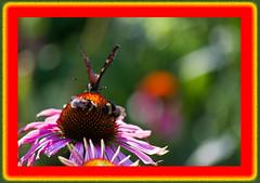 AH62_8310 (der_andyrandy) Tags: schmetterling butterfly insekt blte blumen bltenstaub fotorahmen art amazingamazing thisphotorocks wow outdoor canoneos7d