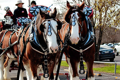 IMG_7158 (Click. Boom.) Tags: horse horses drafthorses clydesdales carton beer brewery horseandcart driving