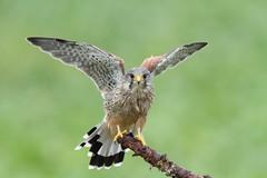 Kestrel (Colin Rigney) Tags: nature wildlife kestrel ukwildlife ukbirds canoneos7d colinrigney bird animal outdoor outside worcestershireuk birdofprey birdsofprey