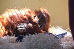 Back to the Orang-utan nursery (vic_sf49) Tags: vicsf49 uk england dorset monkeyworld cronin