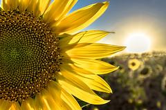 Girasol (Paco Esteve Herrero) Tags: girasoles girasol sol verano 2016 franciscoesteveherrero pacoesteveherrero nikond5300 sigma1020 agosto mirasoles sunflower sunflowers
