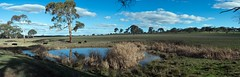 Farm from horn paddock Panorama 74_80.jpg (ImaginingsLifeImages) Tags: bovini animalia placentalanimals chordata reflections floraandfauna rural bos nsw dam newengland reeds wildlife taurus animals fauna places artiodactyla grass scenes water woodville cow eutheria domesticated farmland mammalia nature flora bovinae bovidae cattle stock australia farm armidale northerntablelands ungulate armidaleregion