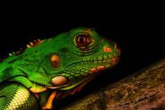 Iguana iguana (FabioZabala) Tags: reptiles reptile reptil a6000 ilce 6000 sony sel30m35 mirrorless iguana iguanidae saurio colombia puerto lleras meta fauna herpetos herpetofauna rainy night macro photo diversidad animal planet