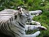 Zoo de Cerza (Bérénys) Tags: parc parczoologique parczoologiquedecerza zoo zoodecerza france bassenormandie normandie calvados lisieux animaux animal tigre tigreblanc tiger