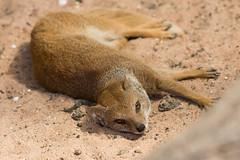 Yellow Mongoose - Marwell Zoo (Stephen Hersee) Tags: marwell zoo hampshire uk england nikon d7200 200500mm 200mm 500mm 200500 yellow mongoose