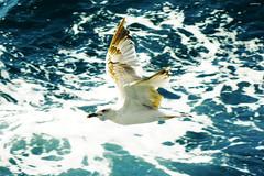 Mart I (cokbilmis-foto) Tags: mart seagull seagulls gull gulls bird birds waterfowl flying flight sea marmara istanbul princess islands princes island sony rx100 water fauna