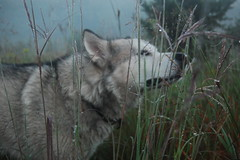 Take Time to Smell the Dew (jayjay.and.the.wolf) Tags: malamute smell dew morning mist nature