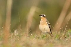 Tapuit - Common wheatear (aaronmeijer2) Tags: canon eos 1200d bird animal noordhollandsduinreservaat duinen castricum nhd
