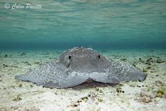 Porcupine Ray (urogymnus asperrimus) (Colin Pacitti) Tags: stingray fish underwater sand sea porcupineray urogymnusasperrimus coth fantasticwildlife saintbrandon mauritius indianocean ngc hennysanimals sunrays5 coth5 npc bestofnature