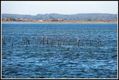 Parc  hutres de l' le aux oiseaux (Les photos de LN) Tags: parcshutres leauxoiseaux bassindarcachon aquitaine gironde nature pche paysage couleurs bleu lumire oiseaux