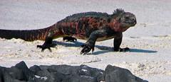 marine iguana striding out at gardner bay - espaola island, galpagos 3 (Russell Scott Images) Tags: colourful marineiguanaamblyrhynchuscristatussspvenustissimus beach espaolaisland islaespaola hoodisland galpagos equator gardnerbay sand