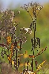 1.30845  C'est l'automne... Autumn is back. (Laval Roy) Tags: quebec canon aves birds oiseaux passereaux chardonneretjaune carduelistristis americangoldfinch fringillids fortborale eos7d ef300mm14lisextender14xiii noflashused captourmente lavalroy spinustristis