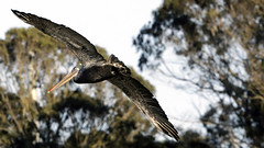 Pelican Flight 3 Moss Landing October 2016 crop _D1A4647 (gibbsbrian) Tags: pelicans pelican canoneos5d canon5dmkiv california usa mosslanding bird flight october pacificcoast highway1 montereybay