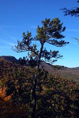 Trail to Hawksbill Mountain 2014-1017-108 (LostPineJim) Tags: northcarolina linvillegorge pitchpine pinusrigida burkecounty hawksbillmountain
