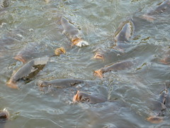 Carp feeding frenzy (Sebastiaan Claus) Tags: fish water fishing feeding carp frenzy karper
