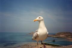 Bretagne 1992 (streamer020nl) Tags: beach saint st brittany seagull gull zwembad bretagne zee swimmingpool kanaal meeuw channel manche malo zeemeeuw
