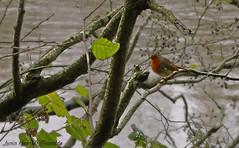 Little Robin, Pequeo Petirrojo 2 (Luca Morales Guinaldo) Tags: bird robin pajaro petirrojo
