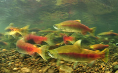 Sockeye Colours (Fish as art) Tags: underwater biology sockeye fiske saumon salmonrivers paulvecsei fishasart underwatersalmonphotography salmonbiodiversity paulvecseisalmon