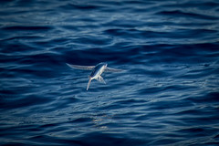 Escape Route (gseloff) Tags: gulfofmexico texas flyingfish pelagic top20texas bestoftexas gseloff