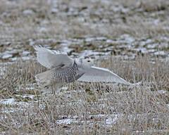 Snowy Owl (Keith Carlson) Tags: owls snowyowl buboscandiacus
