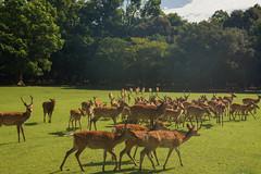 / Sika Deer (kimtetsu) Tags: animal japan  nara   narapark   sikadeer