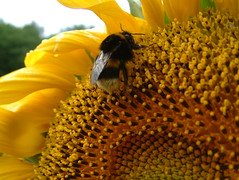 France July 2005. Sunflower. Bumble bee. (cyclingshepherd) Tags: 2005 summer sun france flower yellow petals july bee bumblebee stamen sunflower normandie pollen bumble normandy tournesol abeille ptale tournesols bourdon ptales tamines tamine anthres anthre cyclingshepherd