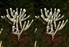 Mushroom, Xylaria sp.? (Ecuador Megadiverso) Tags: naturaleza macro southamerica nature mushroom stereogram ecuador natur champion fungus equateur makro hongo pilz equador biodiversity biodiversidad sdamerika neotropical neotropics xylariasp andreaskay