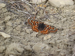 Unknown butterfly (anicia checkerspot?)
