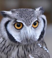 312e owl eyes (jjjj56cp) Tags: blackandwhite nature birds eyes ngc feathers aves npc owl staring cincinnatizoo scopsowl southernwhitefacedscopsowl platinumheartaward jennypansing