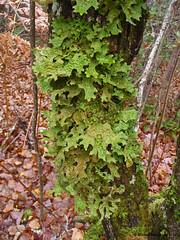 Lichen (PA110023-1S-20141011) (Michel Sansfacon) Tags: lichen olympusstylus1030sw