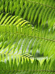 fern (eserehtM) Tags: light fern green rainforest tasmania mountfieldnationalpark