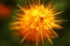 Bang! (Coquine!) Tags: orange flower colour yellow closeup bokeh splash bang blume blüte farbe christianleyk
