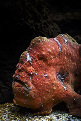 Painted Frogfish (fantommst) Tags: ocean red orange usa fish water hawaii marine pacific waikiki painted salt ugly tropical spotted unusual frogfish saltwater carnivore pictus antennarius lisaridings fantommst