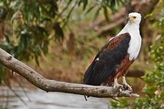 DSC_6069 (Arno Meintjes Wildlife) Tags: africa nature animal southafrica wildlife safari krugerpark africanfisheagle haliaeetusvocifer birds1 arnomeintjes