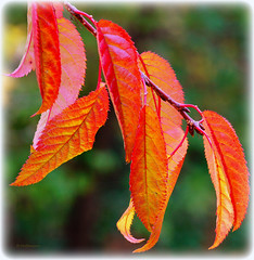 Autumn leaves (Karabelso) Tags: autumn trees red color macro rot fall leaves forest advent sony herbst makro blatt wald farbe baum