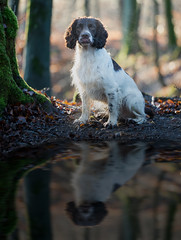 FAN_6063 (The Papa'razzi of dogs) Tags: wood dog water autum zigzag spainels