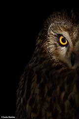 CORUJA-DO-NABAL | SHORT-EARED OWL (Asio flammeus) (Carlos Patrício) Tags: birdwatcher shortearedowl asioflammeus corujadonabal