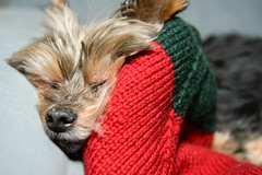 2013-12-25__christmas__0068.jpg (SportShotChris) Tags: christmas family usa dog holiday yorkie mn farmington bitzi 2013