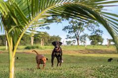 Pires do Rio (cadubittencourt) Tags: brazil dog dogs nature rio brasil do takumar farm sony natureza super 55mm cachorro f3 f18 18 smc coated multi fazenda goiás pires nex 11855 maratá nexf3 11555mm