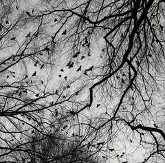 Crows, Portland (austin granger) Tags: street city winter urban film birds square portland wings branches flock flight murder shock crows gf670 austingranger