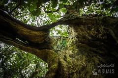 Majestueux Mapou #jaimelaforet @Envolvert (Vronique Rochard) Tags: arbre runion fort mapou forthumide jaimelaforet envolvert