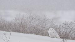 Snowy Owl (Bubo scandiacus) (ER Post) Tags: bird unitedstates michigan owl muskegon snowyowlbuboscandiacus