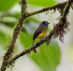 Ornate Flycatcher (Odonata457) Tags: ecuador ornate flycatcher myiotriccusornatus