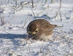 Lapland Longspur (kevingilesbirds) Tags: winter snow bird field kevin birding norfolk lapland giles longspur