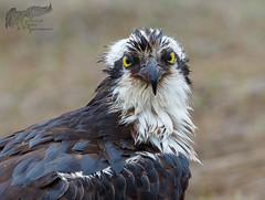 Osprey Portrait 5_2 1 (krisinct- Thanks for 12 Million views!) Tags: mark ii 7d 500 f4