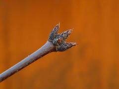 Zimt-Ahorn Zweigspitze (Jörg Paul Kaspari) Tags: orange garden spring top steel acer buds bud rost garten frühling knospe stahl knospen 2016 acergriseum zimtahorn wincheringen moderngarden zweigspitze