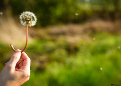 fly away... (vreny_) Tags: sun flower green nature landscape fly spring nikon bokeh outdoor natur dandelion grn blume blte sonne frhling schrfentiefe fliegen lwenzahn pusteblume